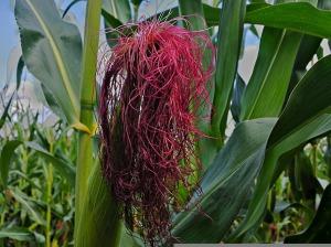 corn-423584_1280