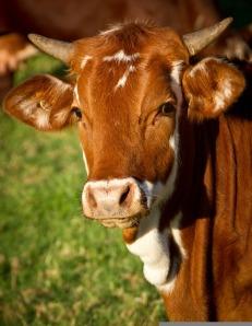 cow-425164_1280